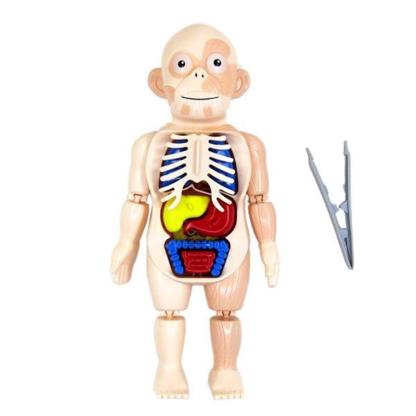 Halloween Human Body Anatomy Model Plastic Human Organ Assembly